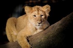 lion-1199757_640